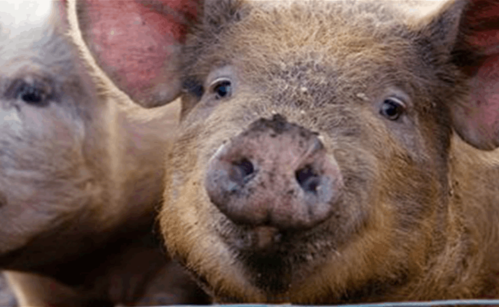 New flu found in pigs in china that can affect humans.