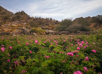 Among the fruit trees, the famous Taif roses; A relaxing tour in the heights of Taif!